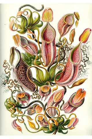 Ernst Haeckel: Nepenthaceae